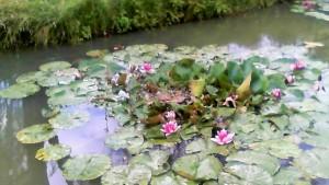 water lilies at Warner's Farm