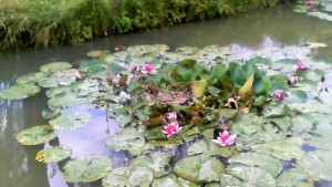 water lilies at Warner's Farm